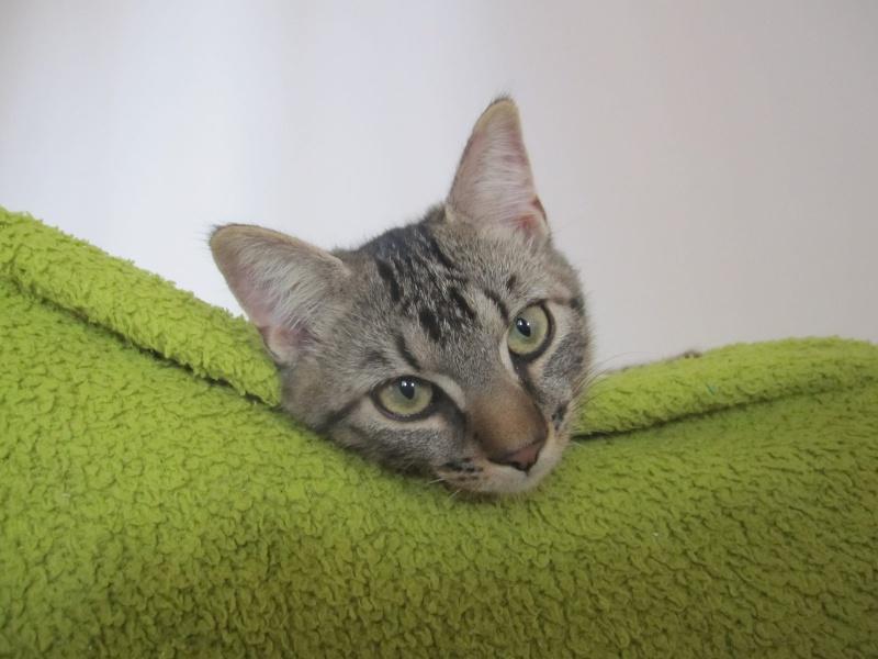Jimmy, chaton mâle brown tabby né le 23/05/2014 Img_0511