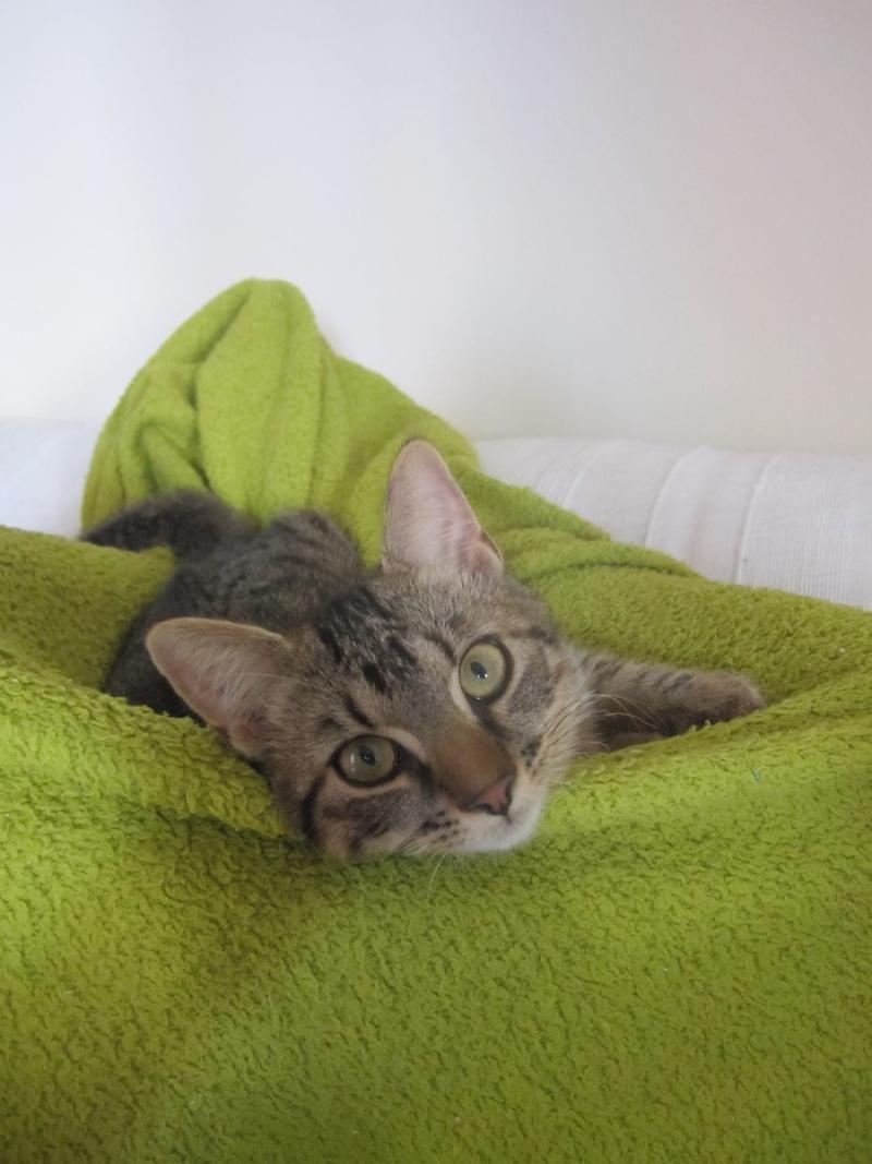 Jimmy, chaton mâle brown tabby né le 23/05/2014 Img_0512