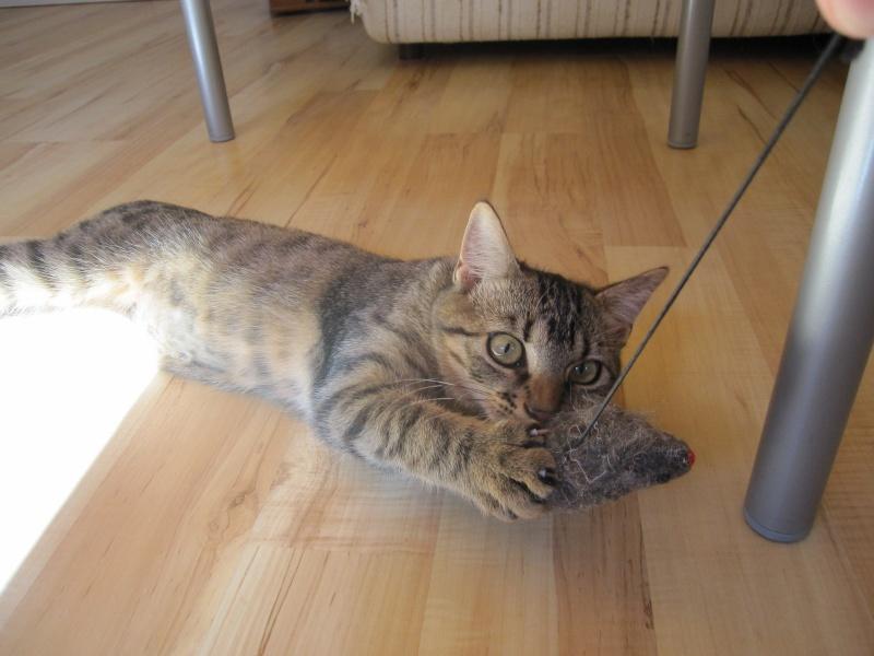 Jimmy, chaton mâle brown tabby né le 23/05/2014 Img_0514