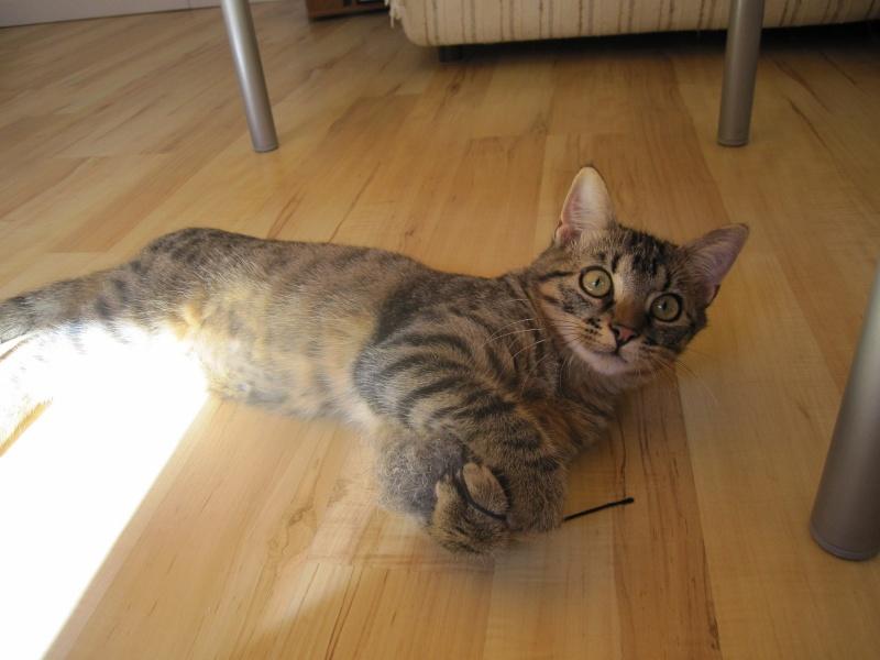 Jimmy, chaton mâle brown tabby né le 23/05/2014 Img_0515