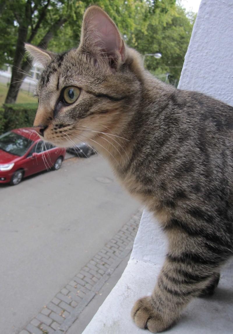 Jimmy, chaton mâle brown tabby né le 23/05/2014 Img_0516