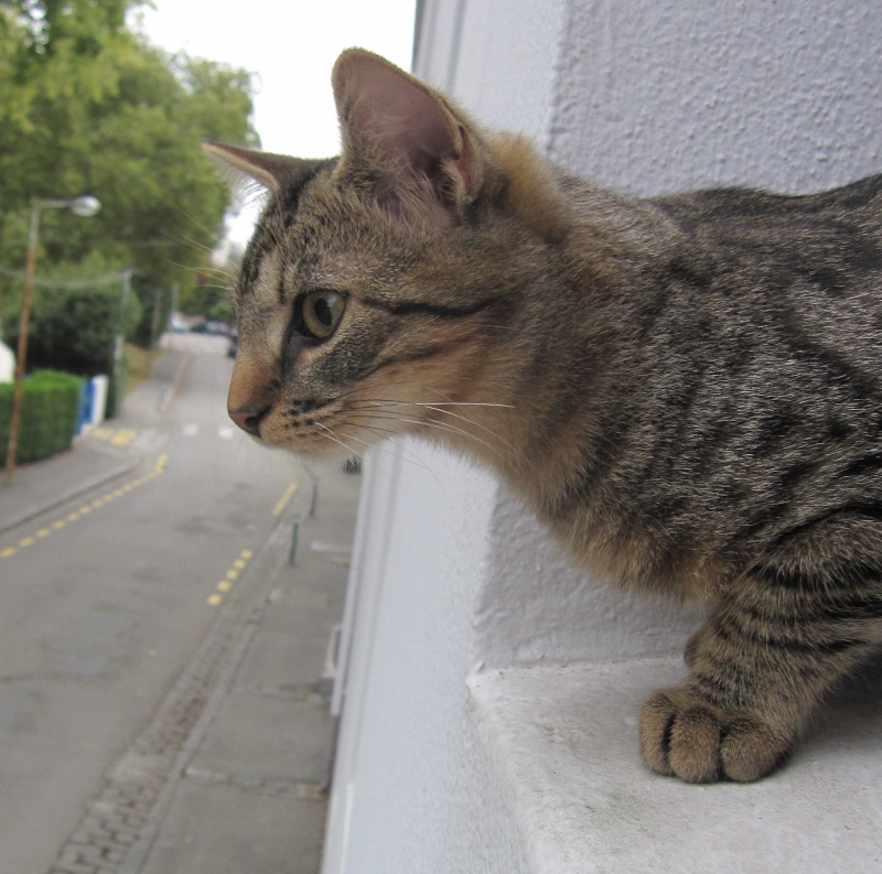 Jimmy, chaton mâle brown tabby né le 23/05/2014 Img_0517