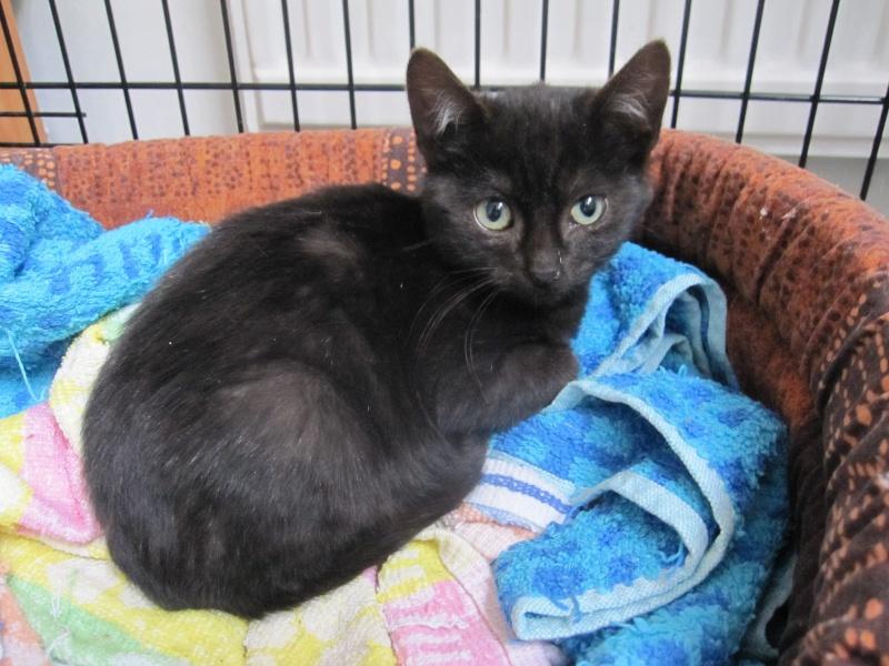 joliot - JOLIOT, chaton européen robe noire, né le 08/09/14 Img_0814