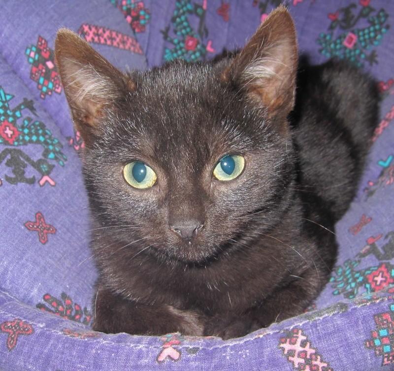 joliot - JOLIOT, chaton européen robe noire, né le 08/09/14 Img_0929