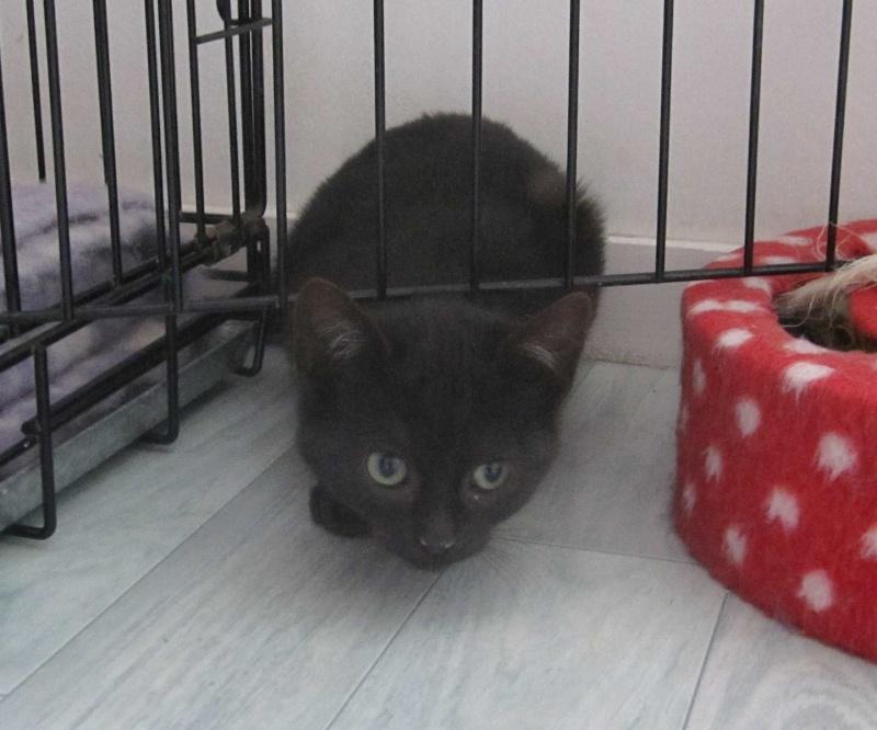 joliot - JOLIOT, chaton européen robe noire, né le 08/09/14 Img_0930