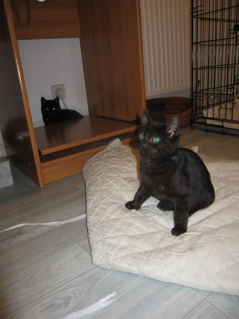 joliot - JOLIOT, chaton européen robe noire, né le 08/09/14 Img_0943