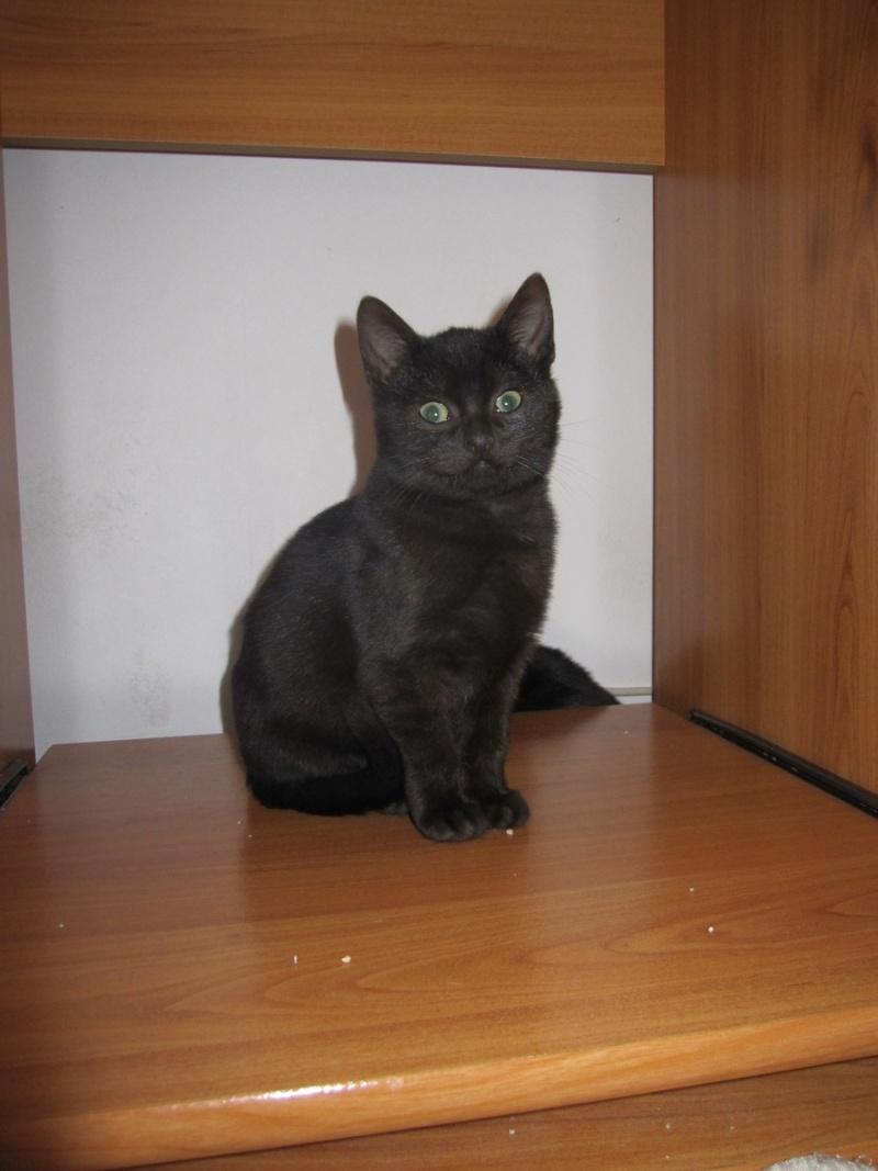 joliot - JOLIOT, chaton européen robe noire, né le 08/09/14 Img_0944