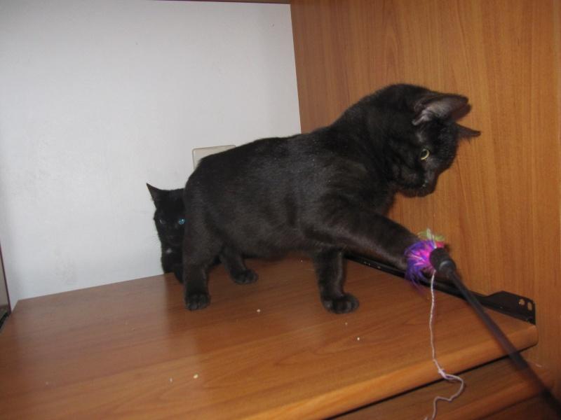 joliot - JOLIOT, chaton européen robe noire, né le 08/09/14 Img_0945