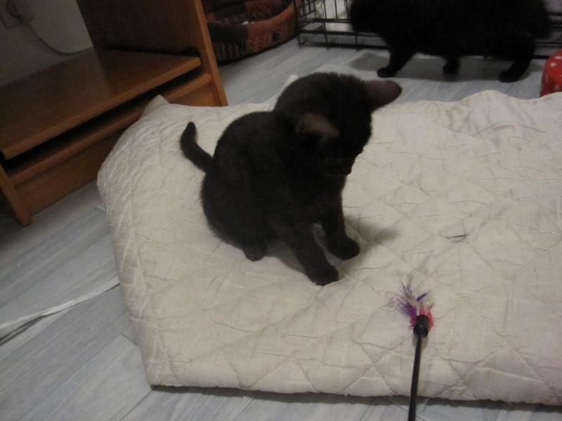 joliot - JOLIOT, chaton européen robe noire, né le 08/09/14 Img_0947
