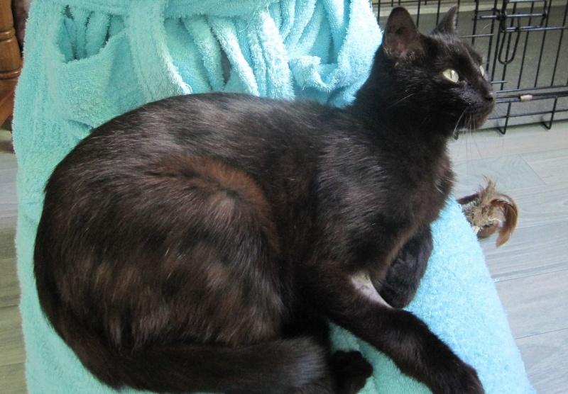 INZ0, chat européen, robe noire, né le 01/09/2013 Img_7315