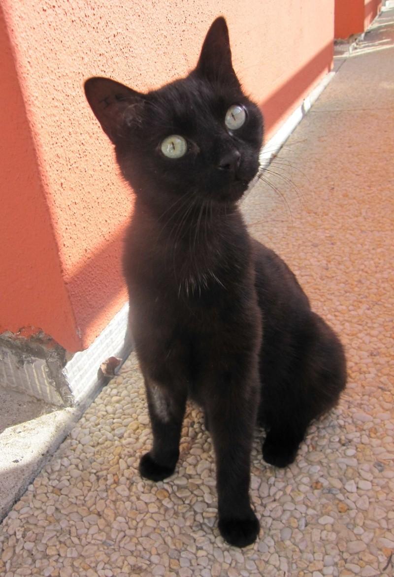 INZ0, chat européen, robe noire, né le 01/09/2013 Img_7320
