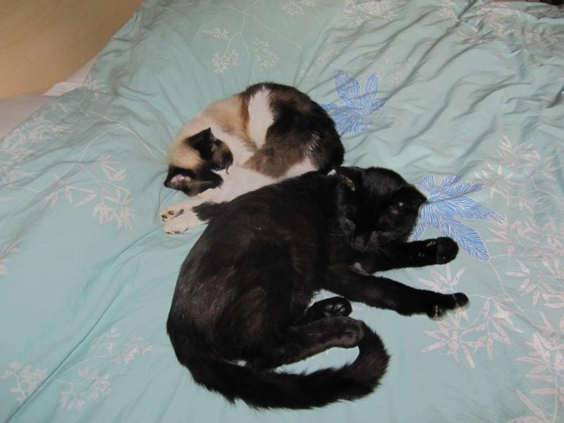INZ0, chat européen, robe noire, né le 01/09/2013 Img_7323