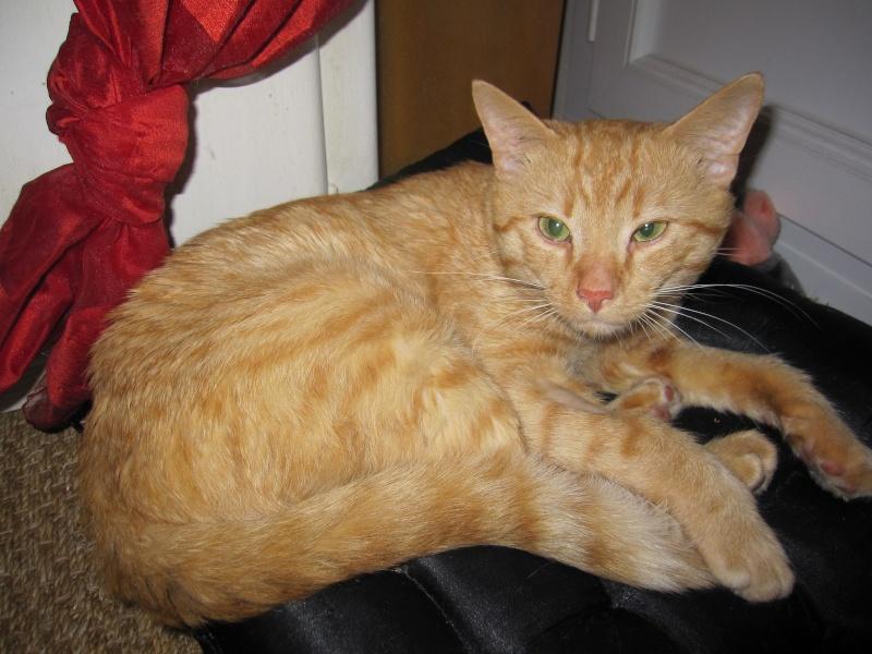 HUGO, chat européen roux, né le 01/05/2012, en sauvetage (frais d'adoption libres) Img_7329