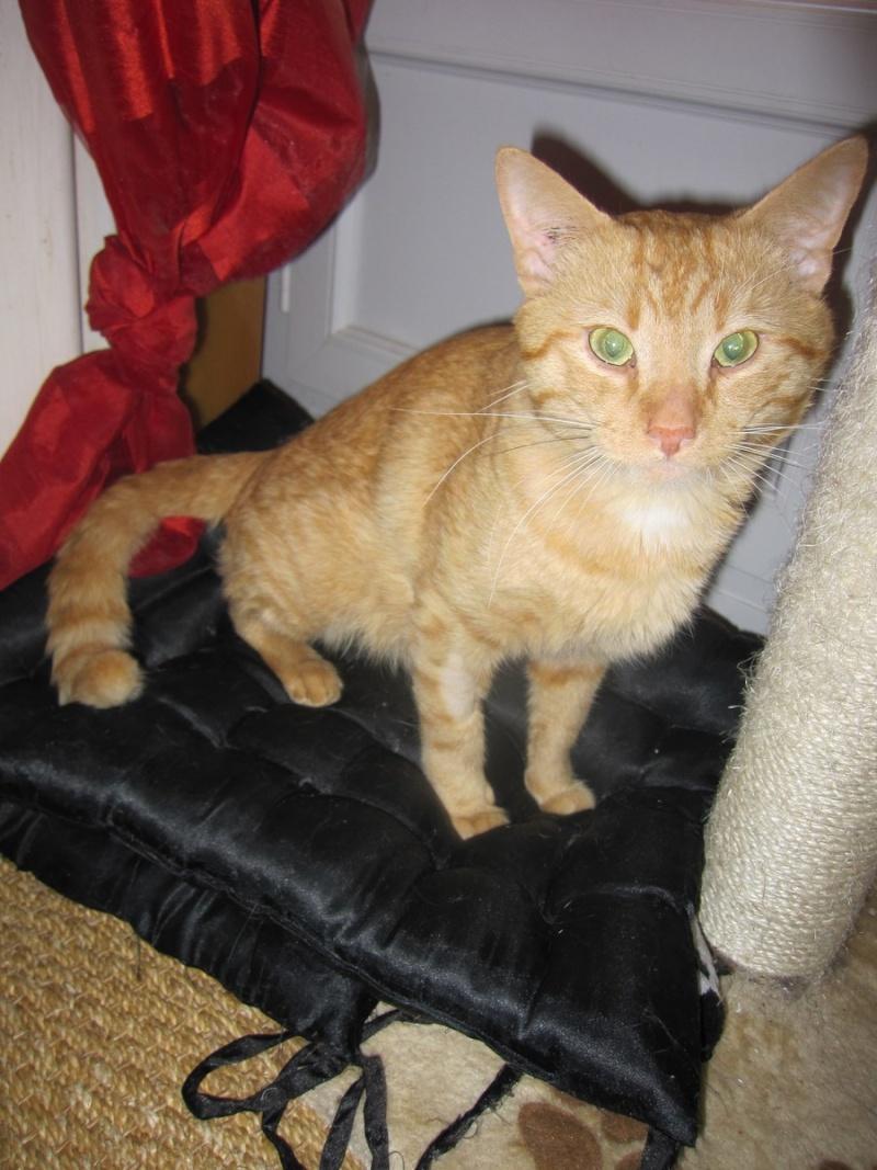 HUGO, chat européen roux, né le 01/05/2012, en sauvetage (frais d'adoption libres) Img_7331