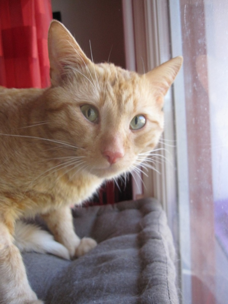 HUGO, chat européen roux, né le 01/05/2012, en sauvetage (frais d'adoption libres) Img_7333