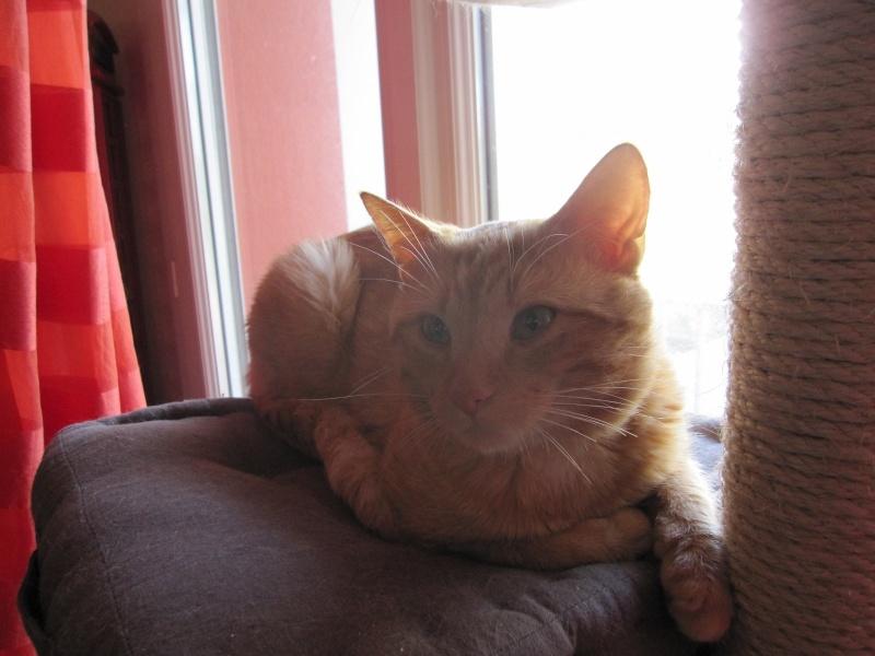 HUGO, chat européen roux, né le 01/05/2012, en sauvetage (frais d'adoption libres) Img_7334