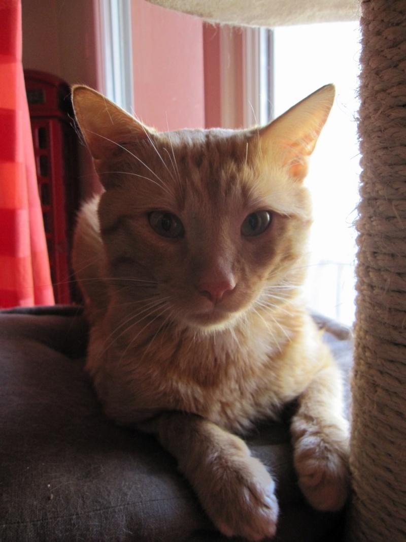 HUGO, chat européen roux, né le 01/05/2012, en sauvetage (frais d'adoption libres) Img_7335