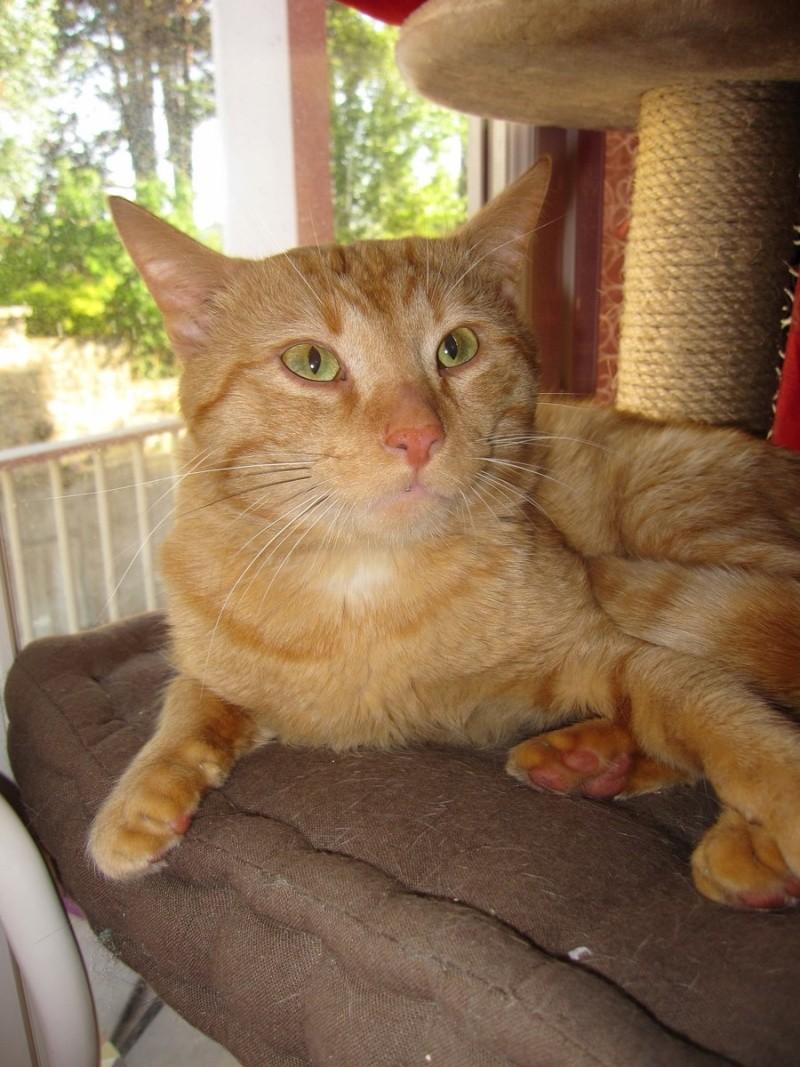 HUGO, chat européen roux, né le 01/05/2012, en sauvetage (frais d'adoption libres) Img_7336