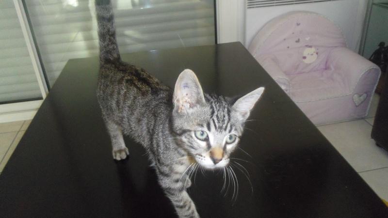 Jaffar, chaton mâle type européen brown tabby né le 25/04/2014 Imgp6210
