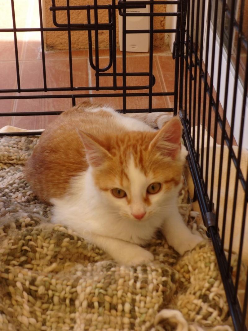 Jango, chaton type européen roux et blanc, né le 15/06/2014 Jango110