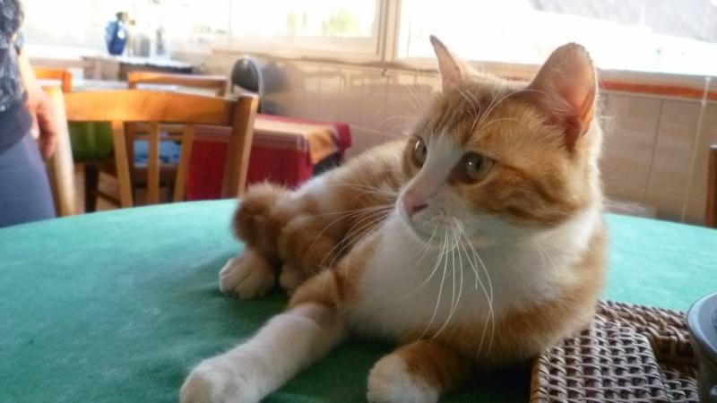 IDRIS, chat roux tigré et blanc, né le 01/07/2013 P1050610