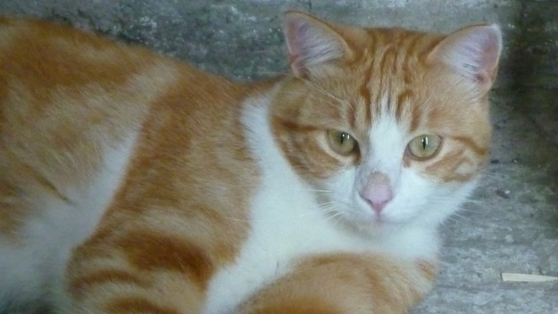 IDRIS, chat roux tigré et blanc, né le 01/07/2013 P1050710