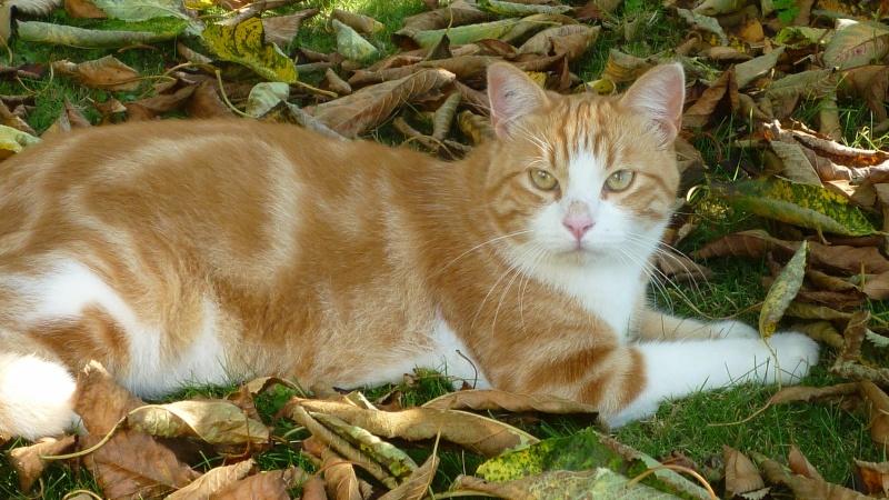 IDRIS, chat roux tigré et blanc, né le 01/07/2013 P1050711