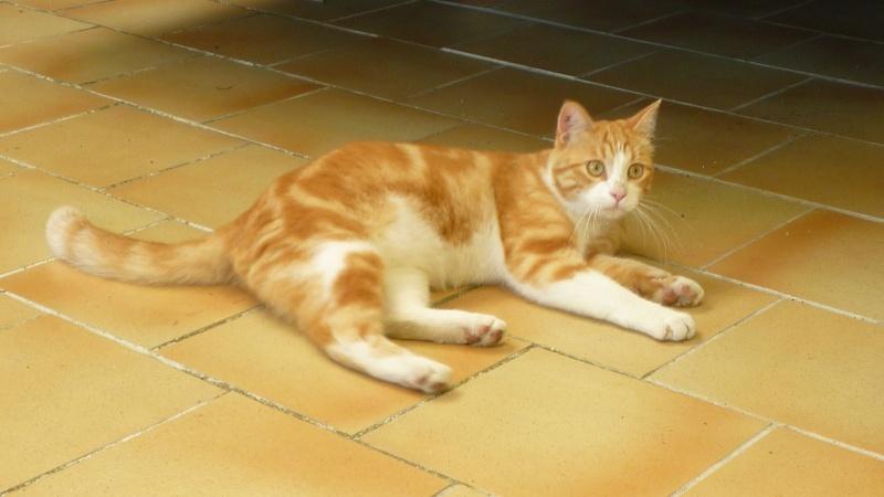 IDRIS, chat roux tigré et blanc, né le 01/07/2013 P1050713