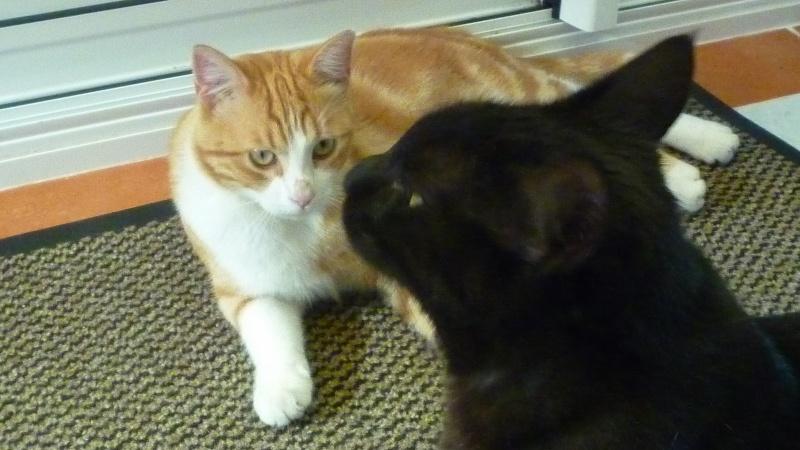 IDRIS, chat roux tigré et blanc, né le 01/07/2013 P1050717