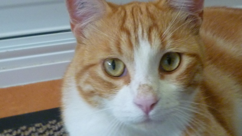 IDRIS, chat roux tigré et blanc, né le 01/07/2013 P1050718