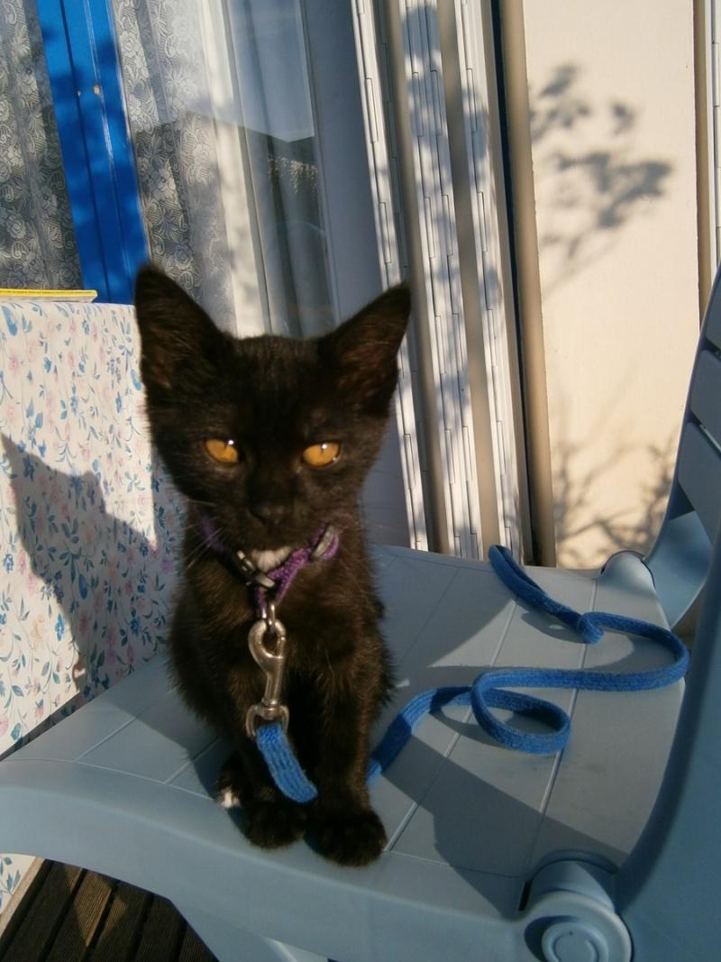 Jappeloup, chaton mâle type européen, noir avec tâche blanche, né le 01/05/2014 P7310010
