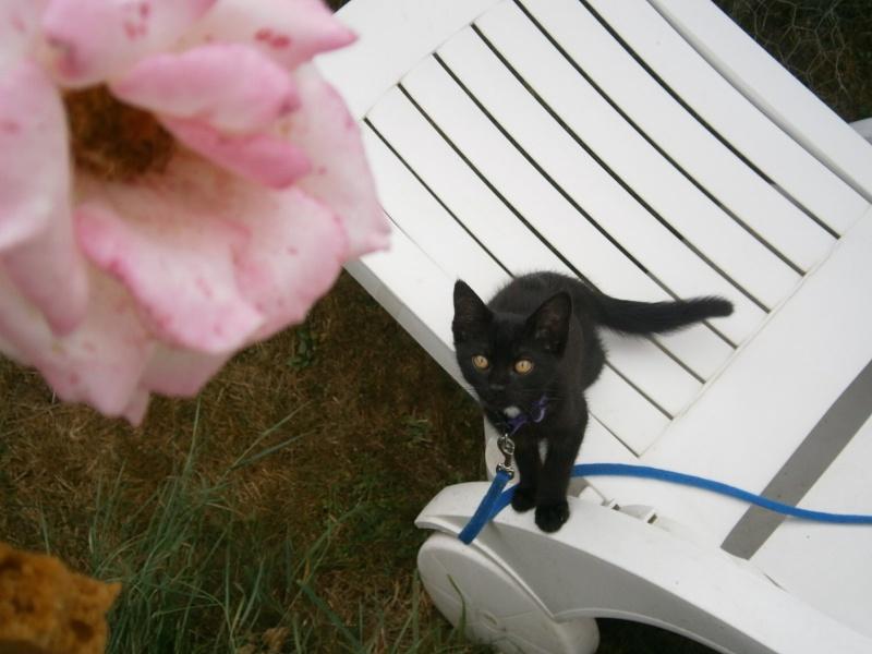Jappeloup, chaton mâle type européen, noir avec tâche blanche, né le 01/05/2014 P7310011
