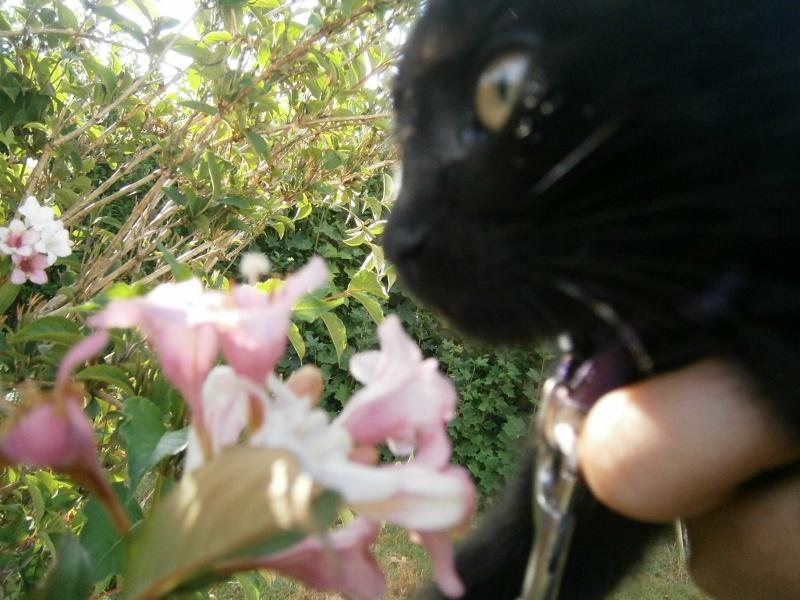 Jappeloup, chaton mâle type européen, noir avec tâche blanche, né le 01/05/2014 P7310012