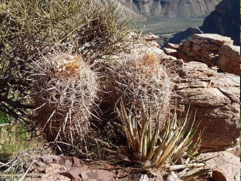 Echinocactus polycephalus ssp. xeranthemoides Echino11