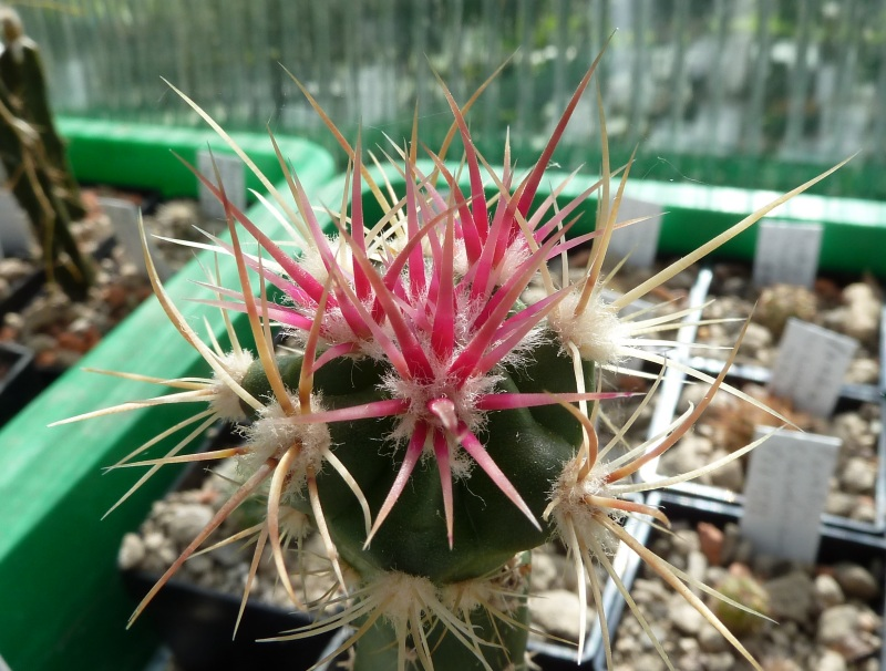 Echinocactus polycephalus ssp. xeranthemoides Echino12