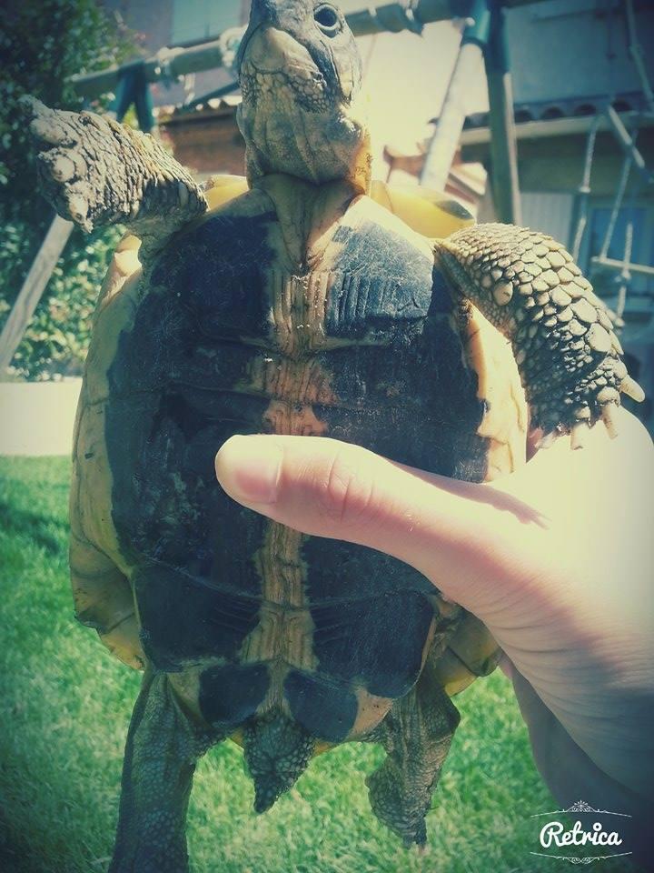 sexage d'une tortue hermann Janett10