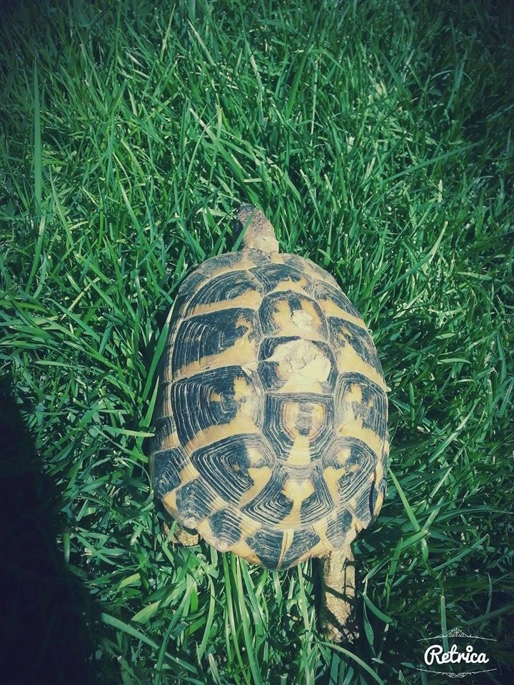 sexage d'une tortue hermann Totu10