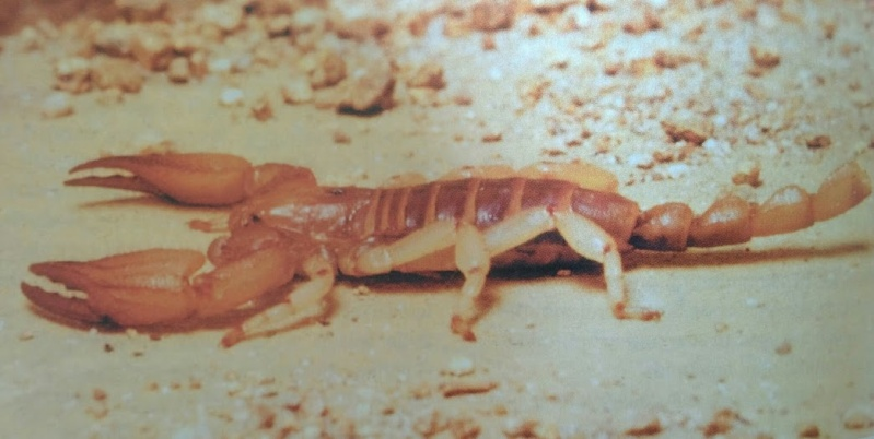 Please help, scorpion stuck in molt Opisto10