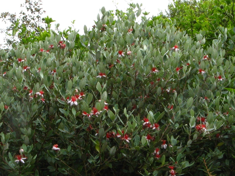 Acca sellowiana (Feijoa) - goyavier du Brésil Feijoa14