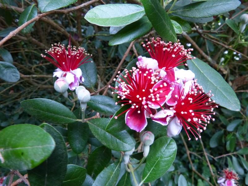 Acca sellowiana (Feijoa) - goyavier du Brésil Feijoa15