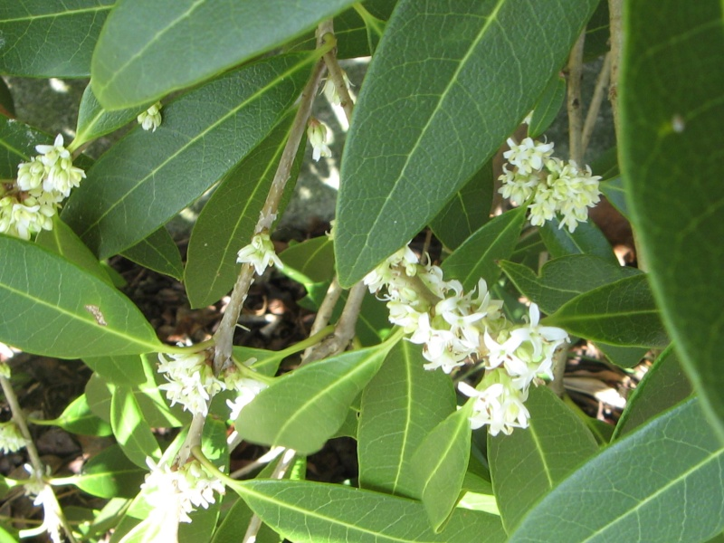 Osmanthus - le genre Philly10