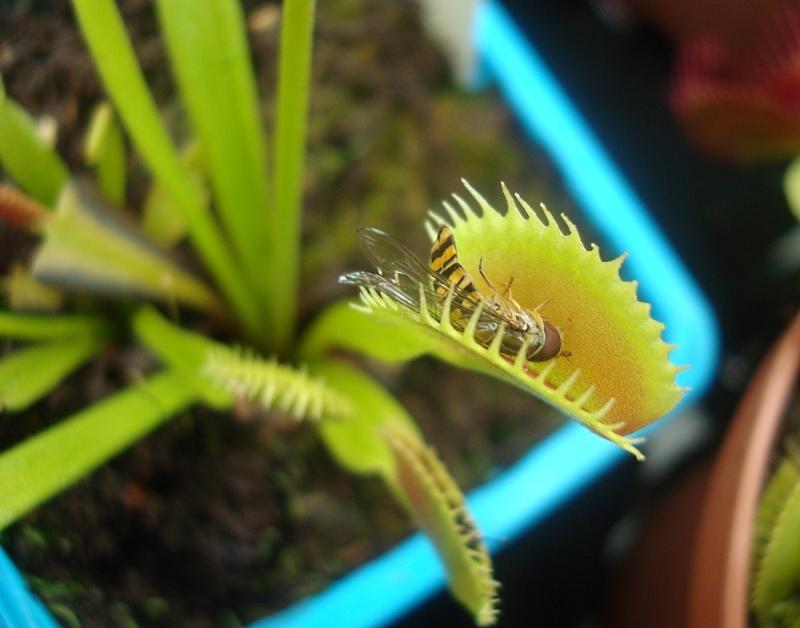 Ces insectes qui se font manger Dsc07626