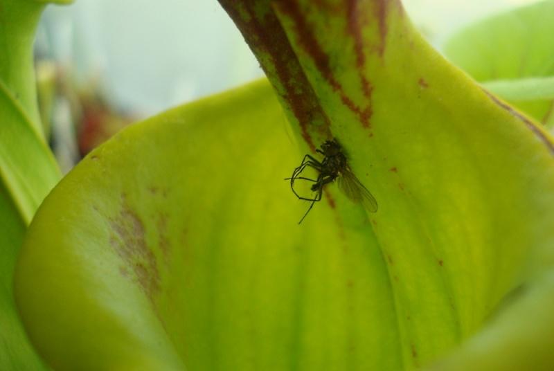 Ces insectes qui se font manger Dsc07810
