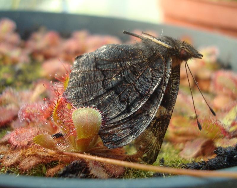 Ces insectes qui se font manger Dsc07812