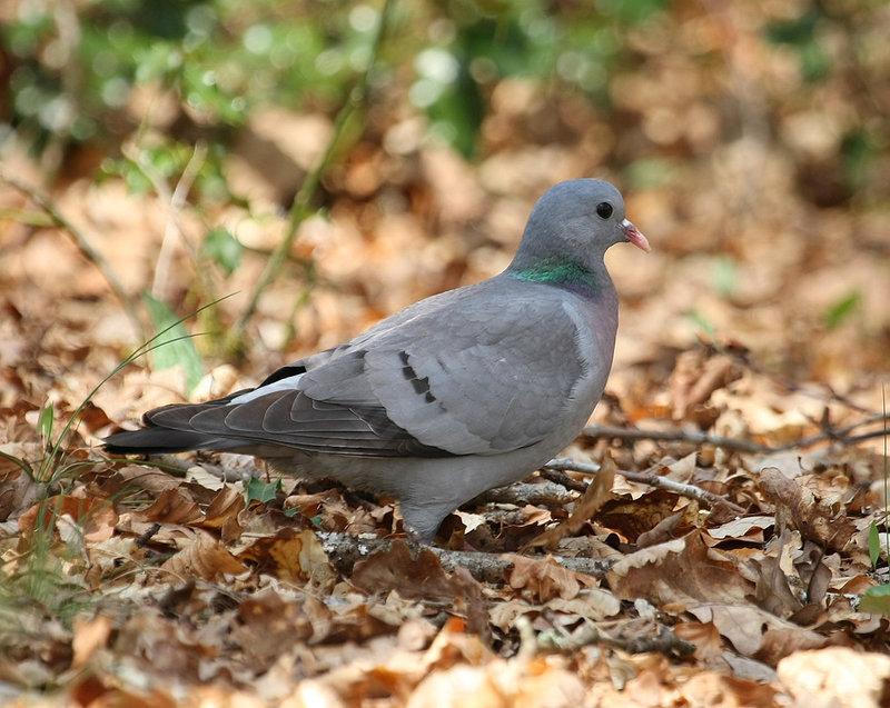 Identification pigeon Pigeon12