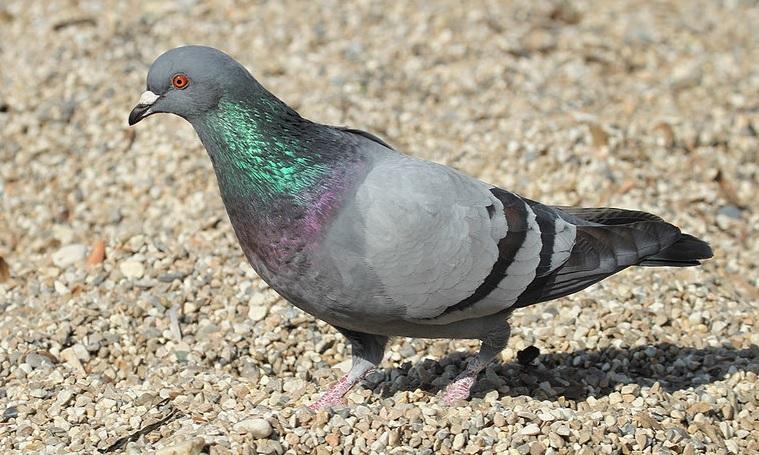 Identification pigeon Sans_t12