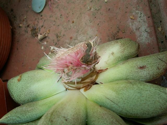 Echeveria purpusorum et hybrides 01-08-11
