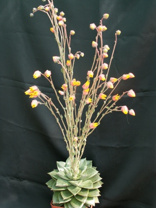 Echeveria purpusorum et hybrides Echeve11
