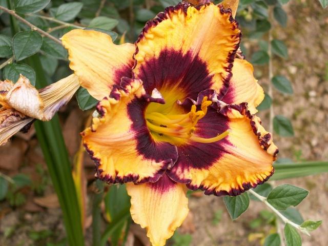 Hemerocallis - des variétés - Page 2 Hemero11