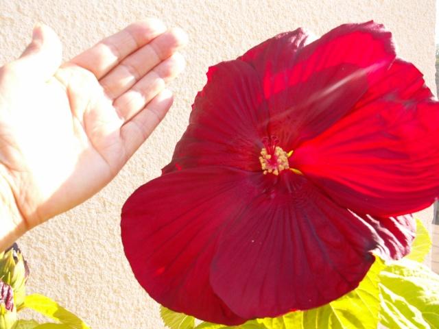 Hibiscus des marais rustiques - sujet général - Page 3 Hibisc10